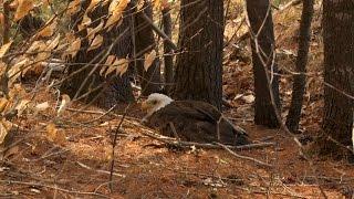 Warden Rescues Injured Bald Eagle