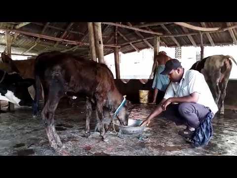 Секс с коровай
