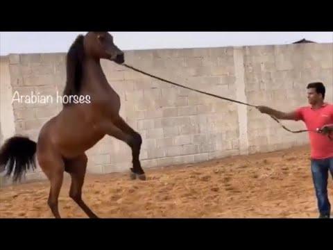 Xxx Mp4 حصان عربي اصيل اجمل😍 ابناء الاسطورة كحيل الشقب 👑🏆🥇 ARABIAN HORSES COLT BY KAHIL ALSHAQAB 3gp Sex