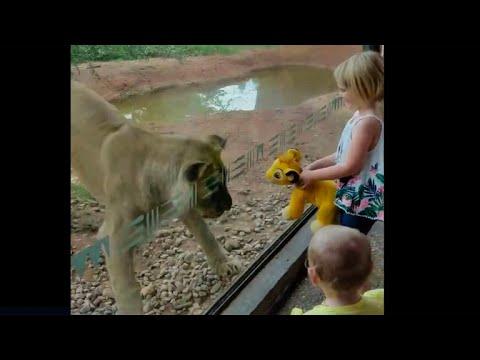 Xxx Mp4 Zoo Lion Infatuated With Simba Stuffed Animal 3gp Sex
