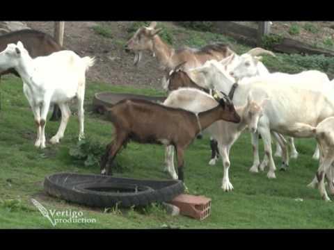 Proizvodnja kozjeg sira na planini Javor U nasem ataru 402.wmv
