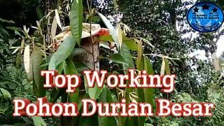 Top Working Pohon Durian Besar