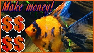 Want to breed angelfish and make money? Use this angelfish breeding setup!