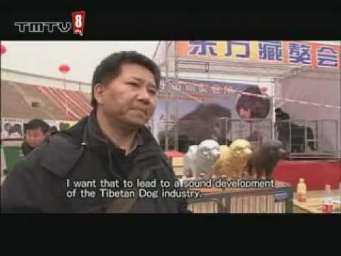china how tibentan dog breeders tmtv8