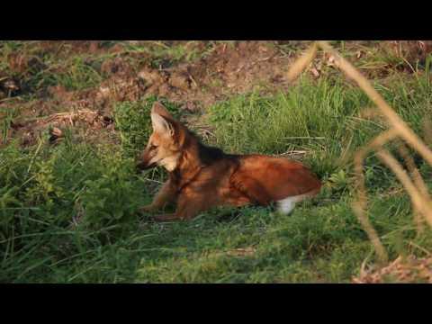 Lobo-guará comendo rato! - MANED WOLF EATING A RAT!