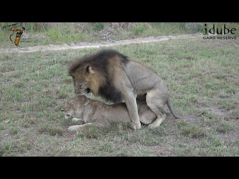 Xxx Mp4 WILDlife Lions Mating In South Africa 4K Video 3gp Sex