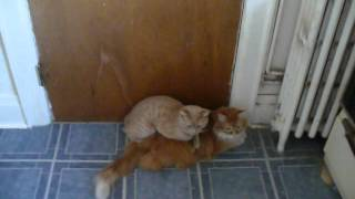 dam i swear cats gone gay , sleepy and mr boots may 9th 2012.