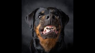 ANGRY ROTTWEILER TRAINING, TYSON ROTTWEILER NOT LESS THAN TIGER