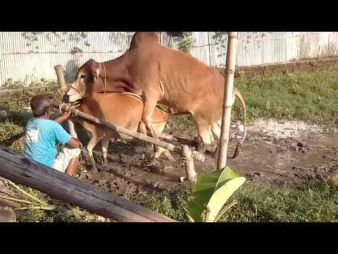 Xxx Mp4 The Best Cow Meeting Bangladesh Farmar 3gp Sex