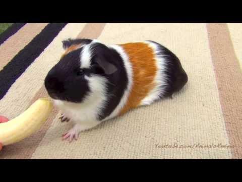 Beautiful Guinea Pig - Too Cute Pet