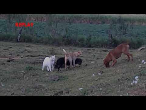 Gatos salvando um cachorro da briga