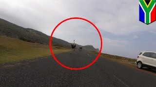 Ostrich: cyclists peddle faster as world's largest bird runs behind them in Cape Town - TomoNews
