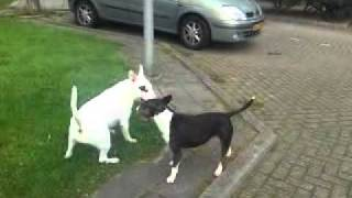 BullTerrier fighting. See this awasome fight!!