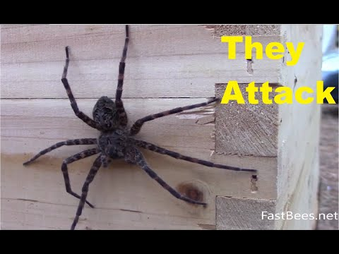 Honey bees attacked the fishing spider. Original HD video.