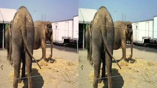 Elephants at Animal Open House; Ringling Bros. & Barnum & Bailey; 09/10/11 - 3pm show