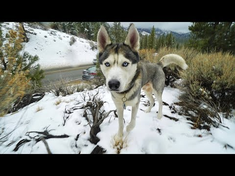 GOHAN THE HUSKY REACTS TO SNOW FOR THE FIRST TIME EVER
