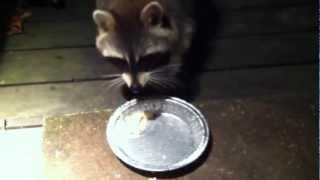 One-eyed Raccoon Buddy