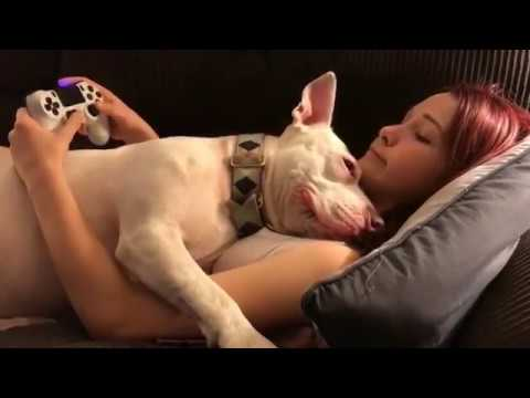 Xxx Mp4 Pitbull Interrupts A Girl Playing Playstation Dogs Are Cute 3gp Sex