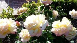 Peace Hybrid Tea Rose.mov