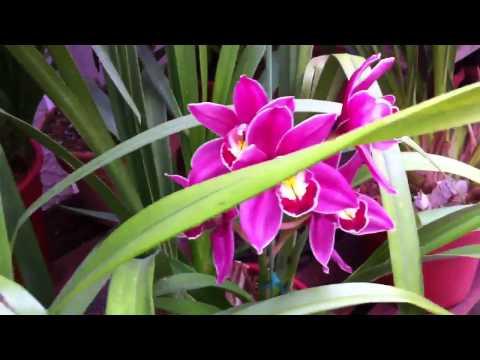 Cymbidium Orchid Collection