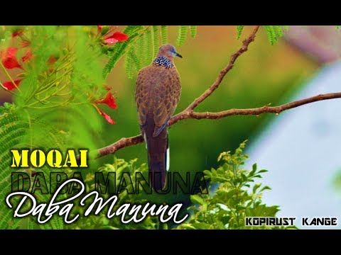 Moqai - Daba Manuna