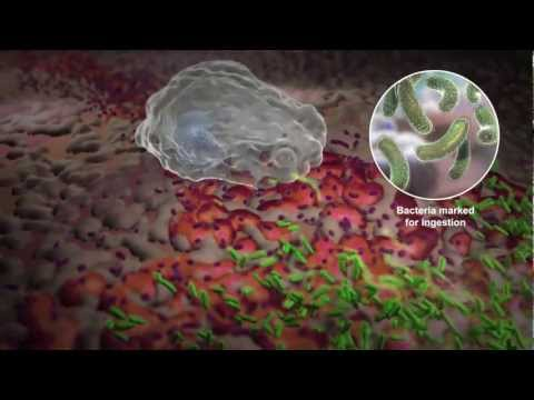 How White Blood Cells Work