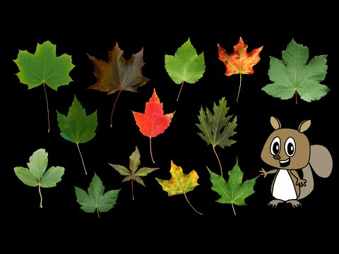 Maple Leaves - Nature / Fall Foliage - The Kids' Picture Show (Fun & Educational Learning Video)