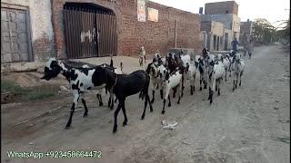Sohna Pind Gujjran Da- | Goat in Pakistan | As Bari Hara Baja dena |