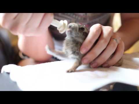 Cute Wild Cottontail Rabbit Enjoying his Milk
