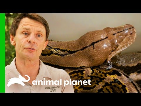 Reticulated Python Needs Extra Help To Shed Her Skin Crikey It s The Irwins