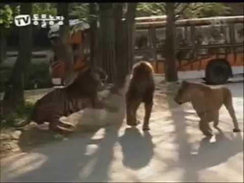 Aslan ve Kaplanın akıl almaz dövüşü Mutlaka İzleyin
