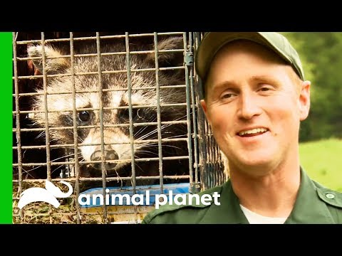 Bear Proofing Raccoon Traps To Safely Get Rid Of Nuisance Wildlife North Woods Law