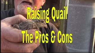 How to raise Quail by Quail Hollow Bird Farm, Raising Bobwhite Quail