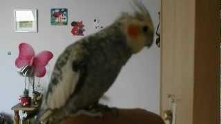 Edy a nimfapapagáj beszél és énekel