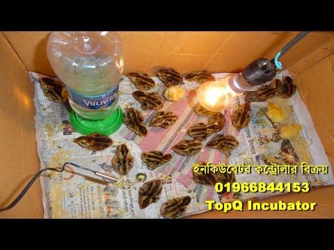 Qual incubator Bangladesh কোয়েল ইনকিউবেটর, কোয়েল ডিম ফুটানো