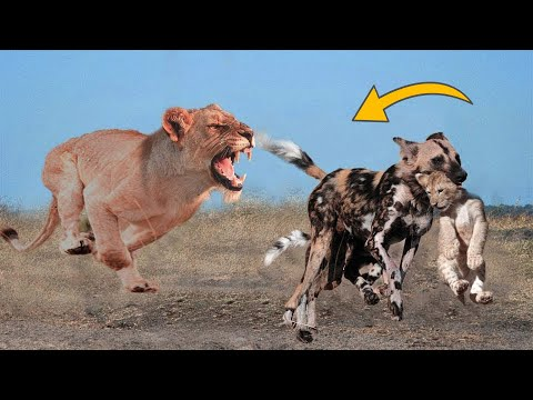 Xxx Mp4 Wild Dogs Destroy Lion Cub But The God Can 39 T Help Wild Dog Escape The Power Of Mother Lion 3gp Sex