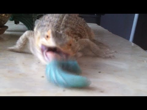 How to sex baby bearded dragons