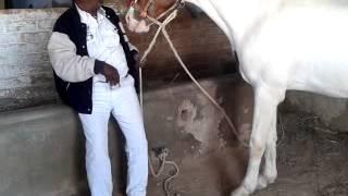 Ramdevpir Temple Pipli Gujarat India Sant Savaram Bapa ni Jagya GHODI (HORSE)  PIYUSH KADI.mp4
