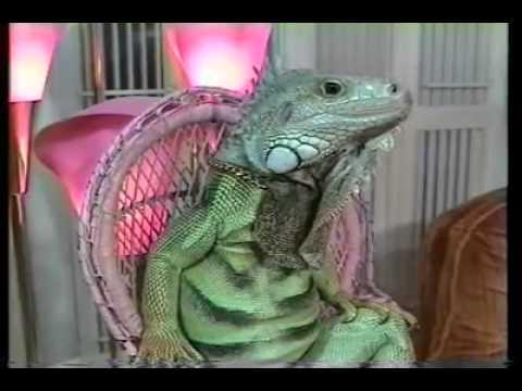 Henry Lizardlover Iguana Video