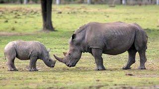 Rhino vs Baby Rhino Deadliest Fight Ever - Nat Geo Wild