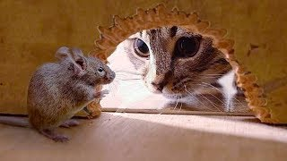 Funny Cats Vs Mouse| Tom and Jerry Real Life | Top Cats Video Compilation