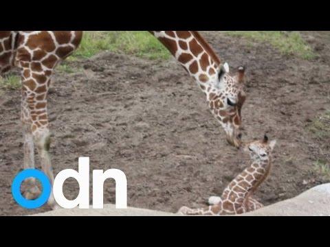 Baby boy giraffe born at Detroit Zoo makes shaky first attempt at a run