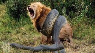 pc mobile Download 10 CRAZIEST Animal Fights Caught On Camera