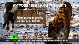 Amur & Timur: 'Unusual' friendship between tiger & goat explained
