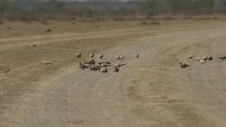 Spotted Sandgrouse collecting stones for their gizzards