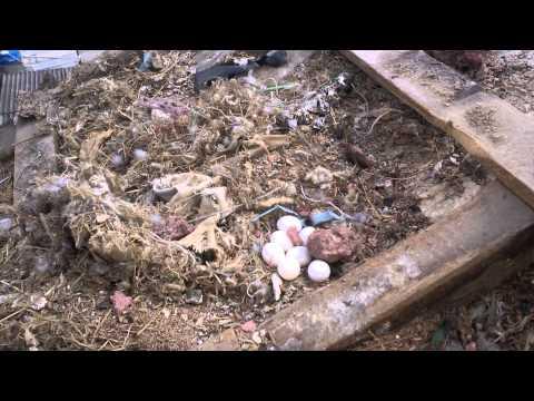 Ninho de Periquito com ovos chocando em telhado na cidade