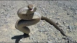 WARNING very angry eastern brown snake