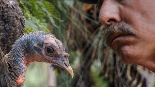 Learning the Language of Turkeys   BBC Earth