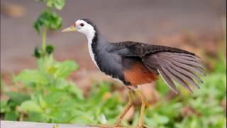 Suara Burung Wak-wak cocok Untuk Memikat