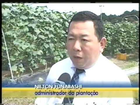 Cultivo de Pepinos no Japão
